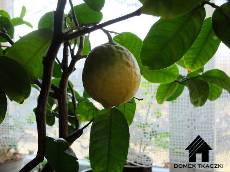 Domek Tkaczki, a cytryna dojrzewa